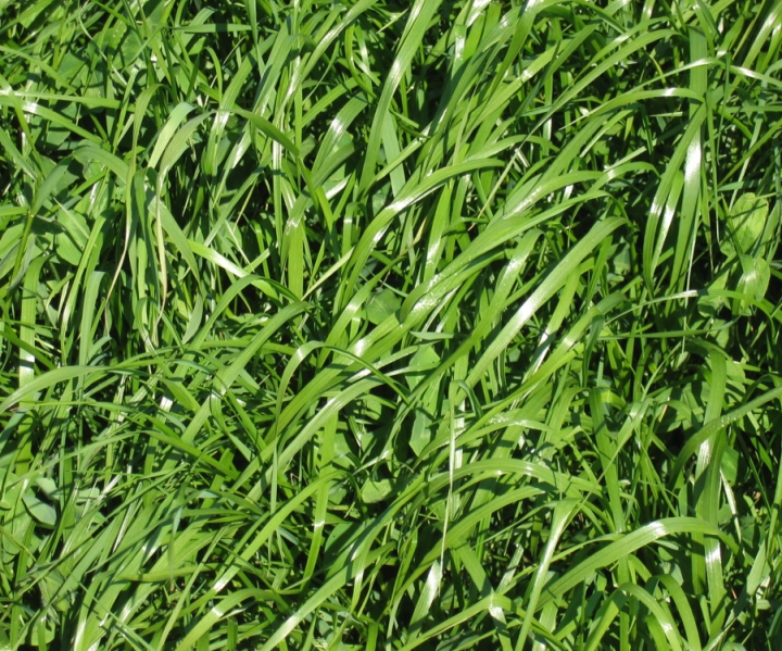 Semillas pratenses. Raygrass, trebol